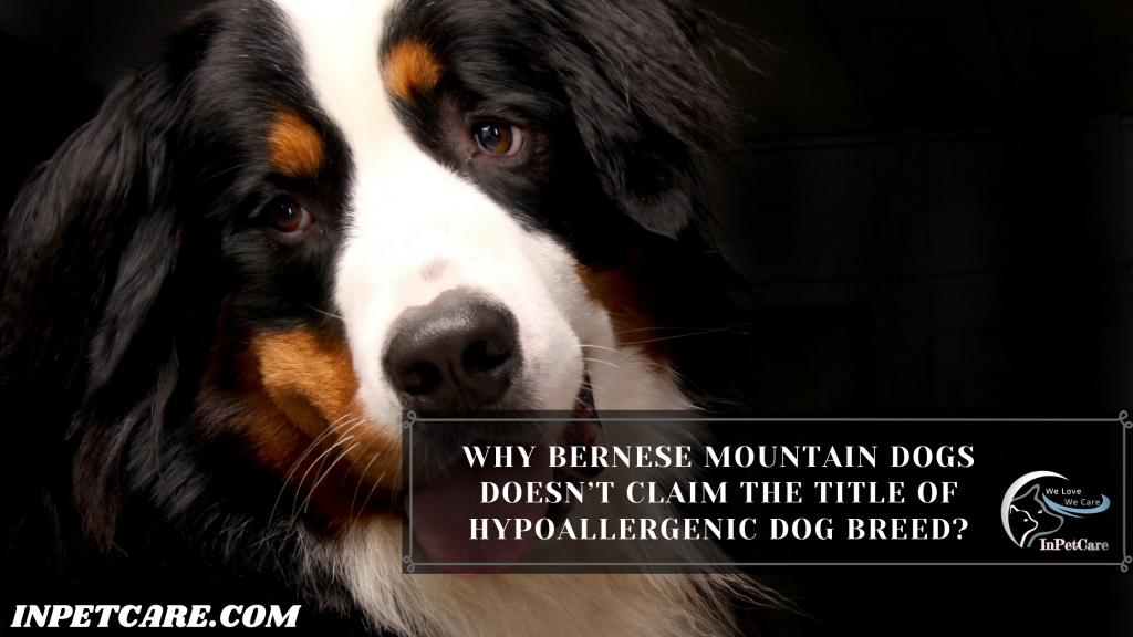 Are Bernese Mountain Dogs Hypoallergenic?