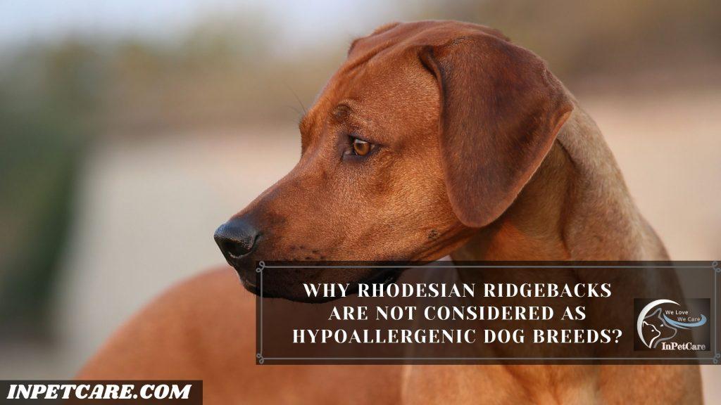 Are Rhodesian Ridgebacks Hypoallergenic?