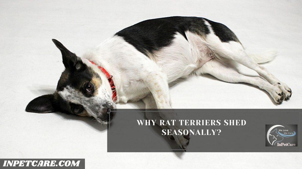 Do Rat Terriers Shed?