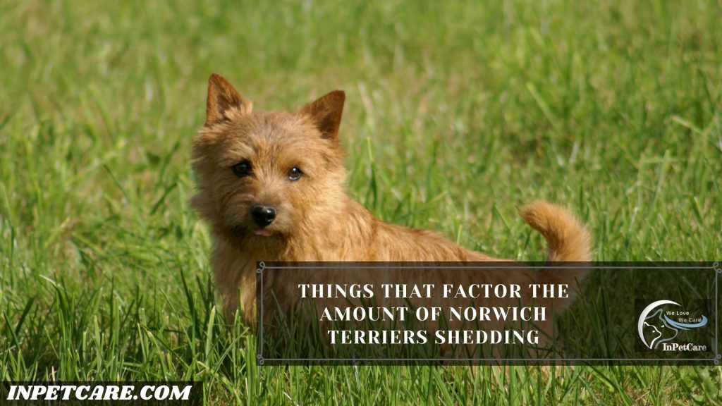 Do Norwich Terriers Shed?