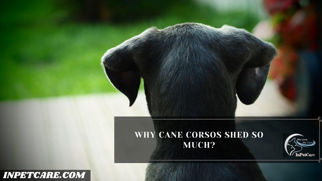 Do Cane Corsos Shed?