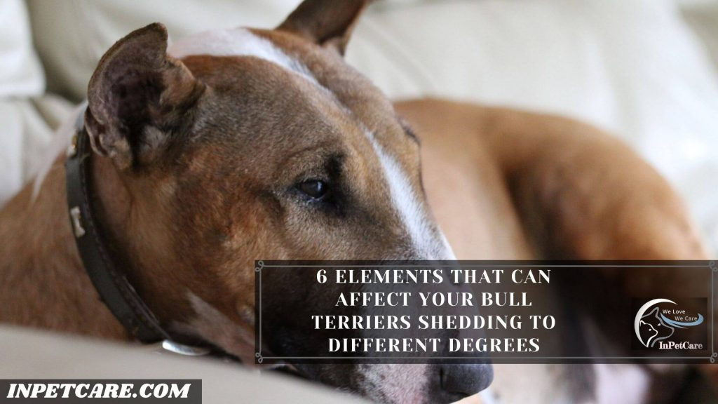 Do Bull Terriers Shed?