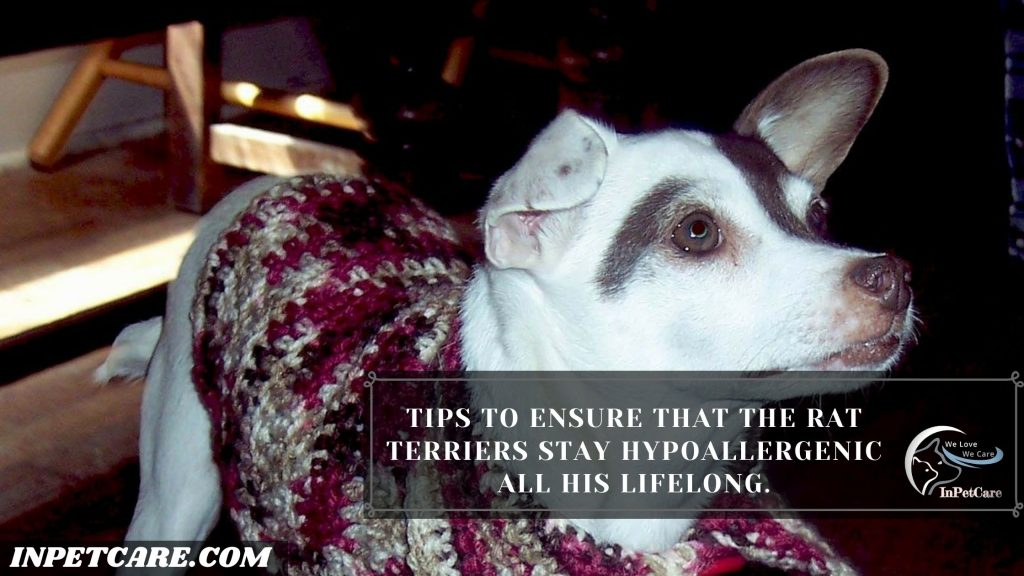 Are Rat Terriers Hypoallergenic? Tips For Allergic Families