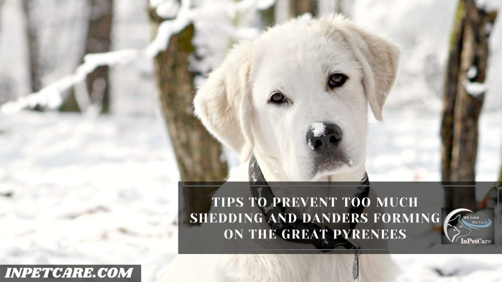 Are Great Pyrenees Hypoallergenic? Tips For Allergic Family
