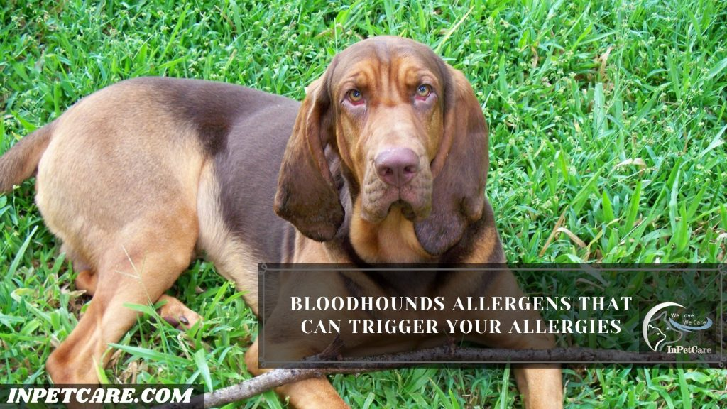 Are Bloodhounds Hypoallergenic?