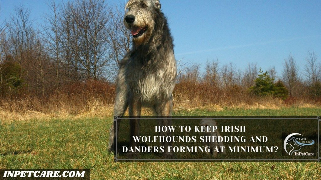 How To Keep Irish Wolfhounds Shedding And Danders Forming At Minimum?