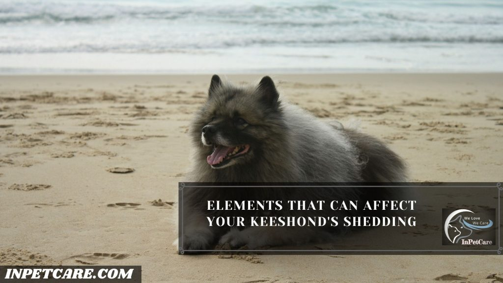 Do Keeshonds Shed?