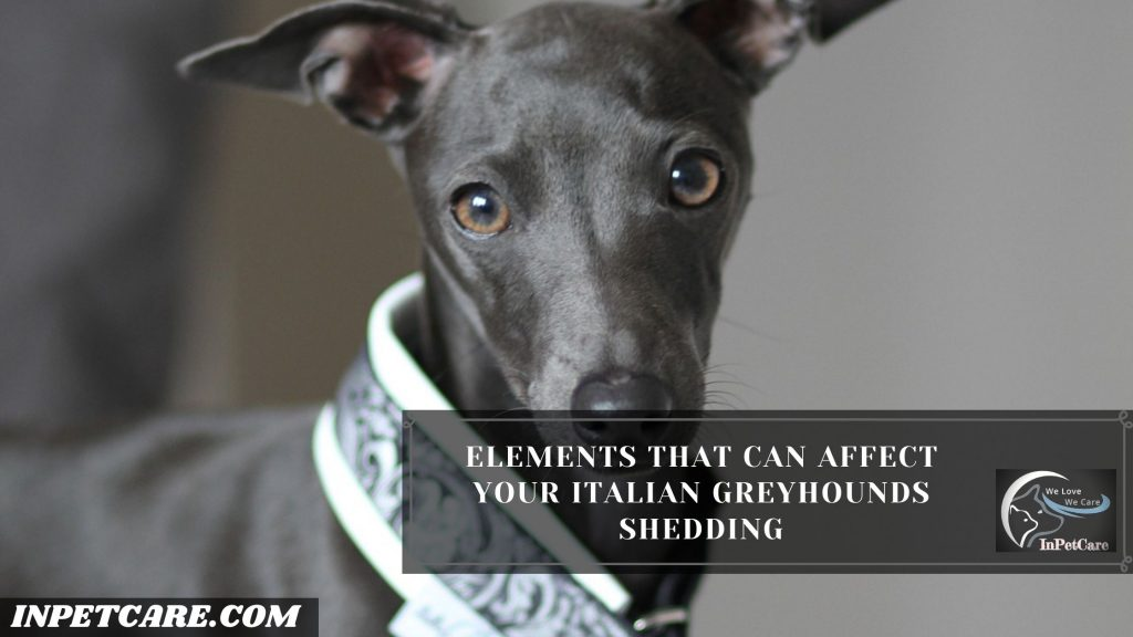 Do Italian Greyhounds Shed? (Tips To Control Its Shedding)