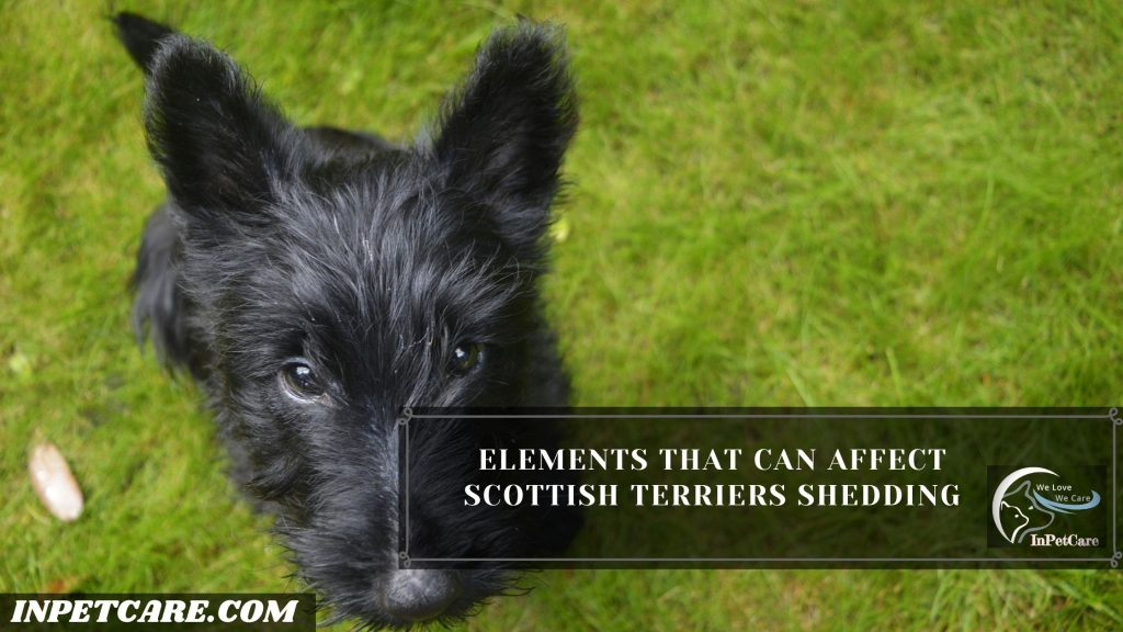 Do Scottish Terriers Shed?