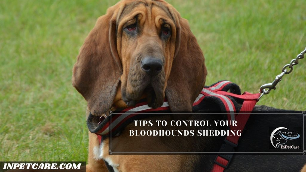 Do Bloodhounds Shed?