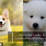 Samoyed Corgi Mix: Cost, Pictures, Ease of Care & Many More