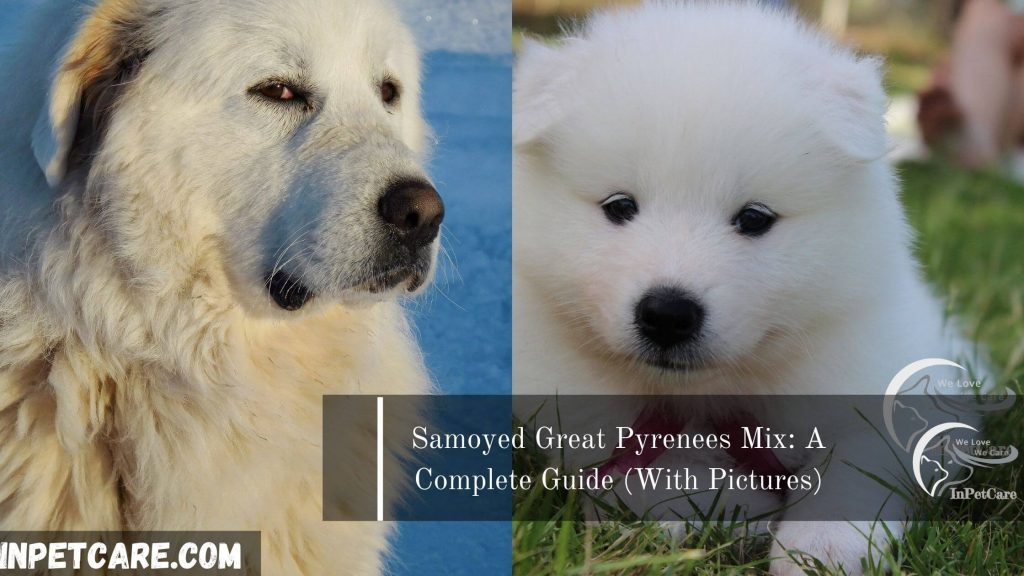 Samoyed Great Pyrenees Mix: A Complete Guide (With Pictures)