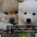 Samoyed Chow Chow Mix: Cost, Pictures, Care & Many More
