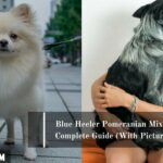 Blue Heeler Pomeranian Mix: A Complete Guide (With Pictures)