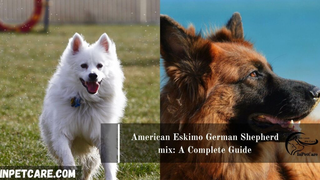 American Eskimo German Shepherd mix