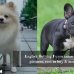 English Bulldog Pomeranian Mix: pictures, cost to buy & more