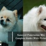 Samoyed Pomeranian Mix: A Complete Guide (With Pictures)