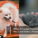Italian Greyhound Pomeranian Mix: A Full Guide (+Pictures)