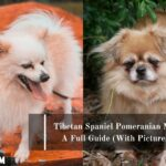 Tibetan Spaniel Pomeranian Mix: A Full Guide (With Pictures)