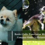Border Collie Pomeranian Mix: A Complete Guide (+Pictures)