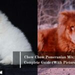 Chow Chow Pomeranian Mix: A Complete Guide (With Pictures)