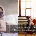 Pug Great Dane Mix: Cost, Pictures, Care & many more
