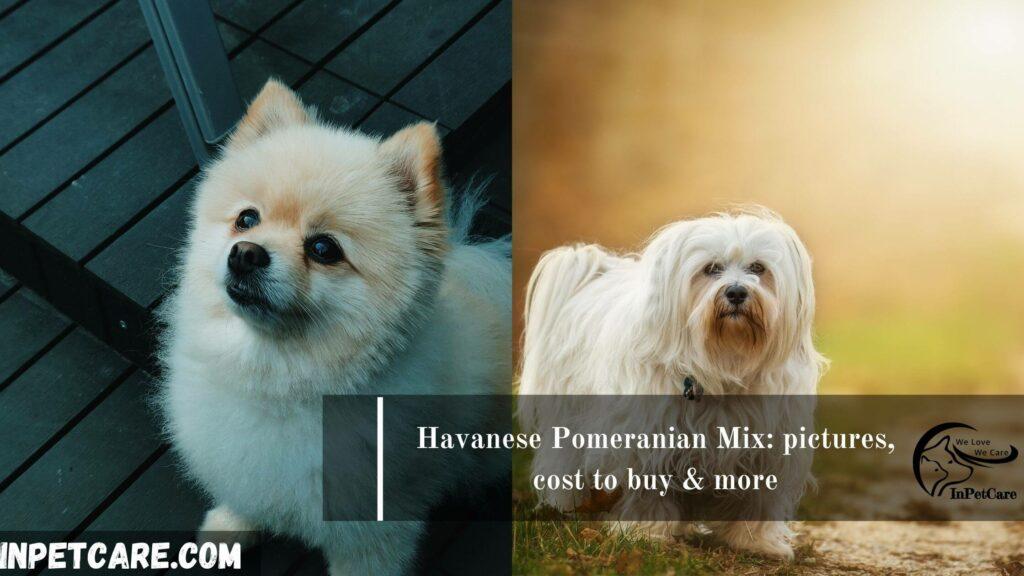Havanese Pomeranian Mix, Pomeranian Havanese Mix, Havanese and Pomeranian Mix,Pomeranian and Havanese Pomeranian Mix, Havanese mix with pomeranian,