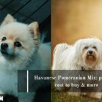 Havanese Pomeranian Mix: pictures, cost to buy & more