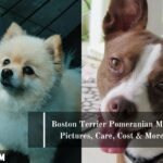 Boston Terrier Pomeranian Mix: Pictures, Care, Cost and More.