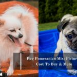 Pug Pomeranian Mix: Pictures, Cost To Buy & More