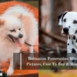 Dalmatian Pomeranian Mix: Pictures, Cost To Buy & More
