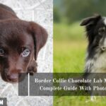 Border Collie Chocolate Lab Mix: Complete Guide With Photos