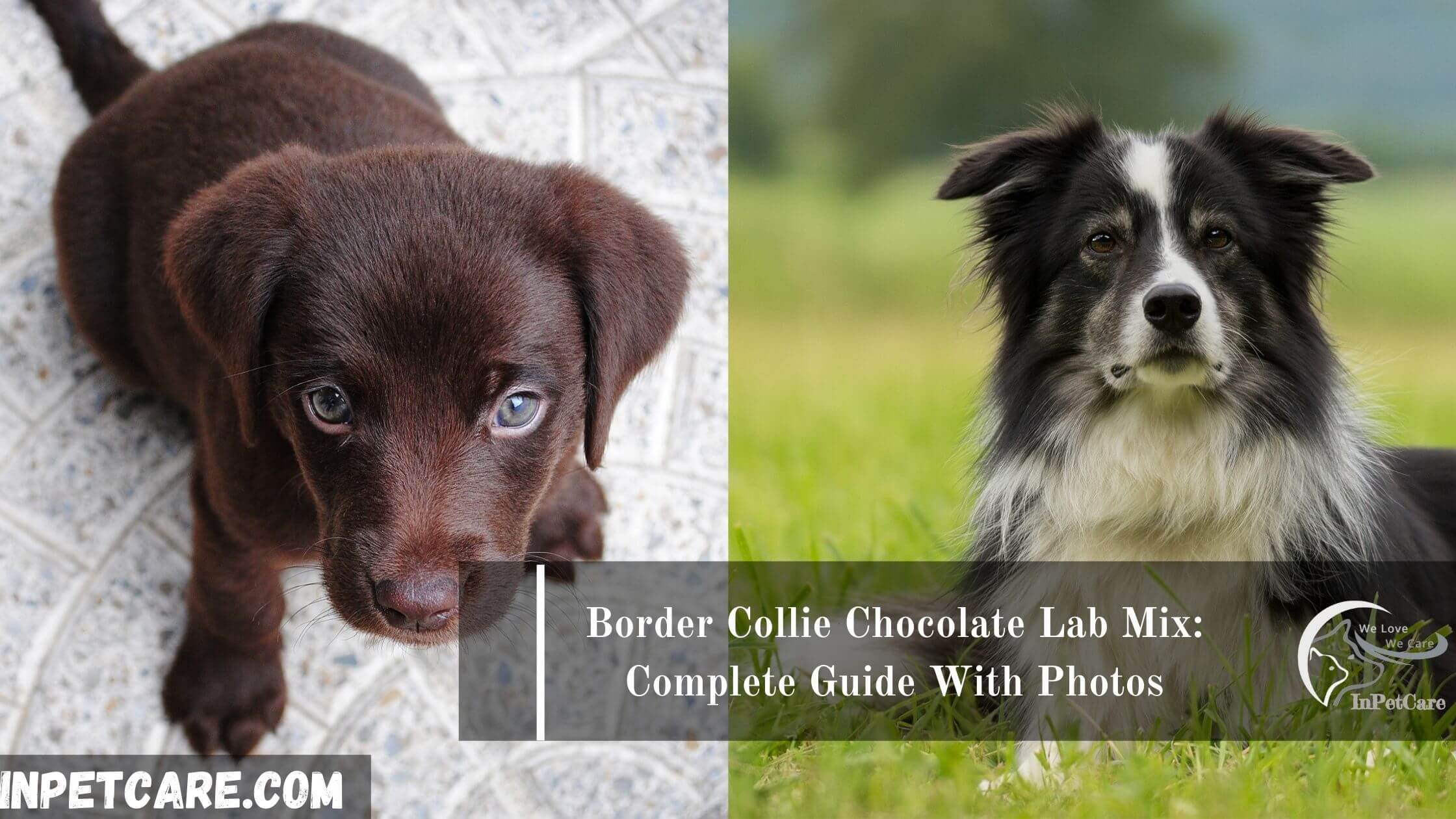 Border Collie Chocolate Lab Mix