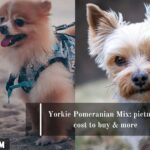 Yorkie Pomeranian Mix: pictures, cost to buy & more