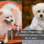 Maltese Pomeranian Mix/MaltiPom: pictures, cost to buy & more