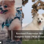 Keeshond Pomeranian Mix: A Complete Guide (With Pictures)