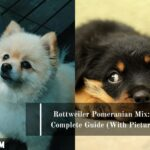Rottweiler Pomeranian Mix: A Complete Guide (With Pictures)