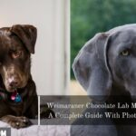 Weimaraner Chocolate Lab Mix: A Complete Guide With Photos