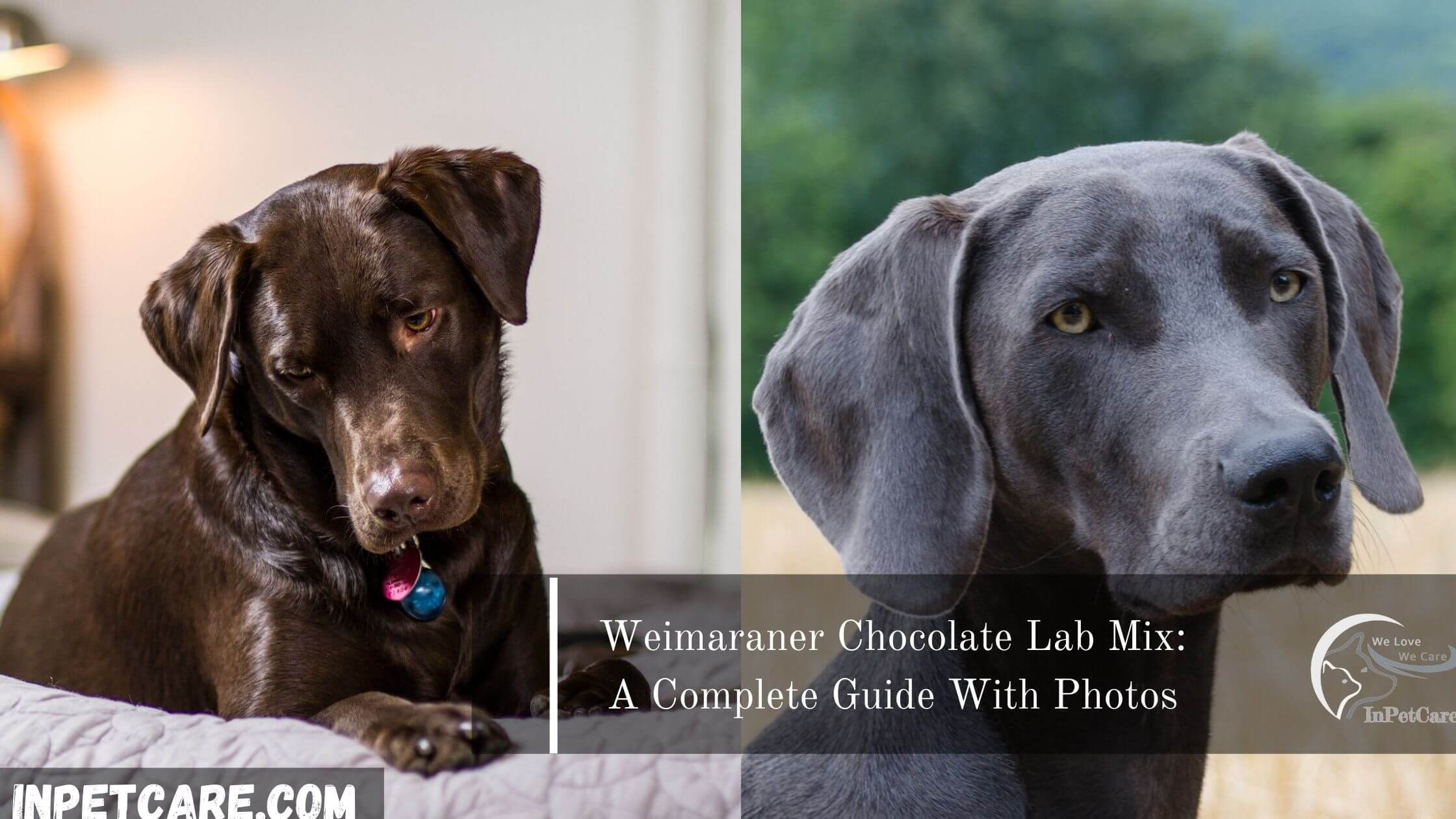 Weimaraner Chocolate Lab Mix