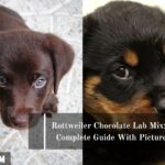 Rottweiler Chocolate Lab Mix: A Complete Guide With Pictures