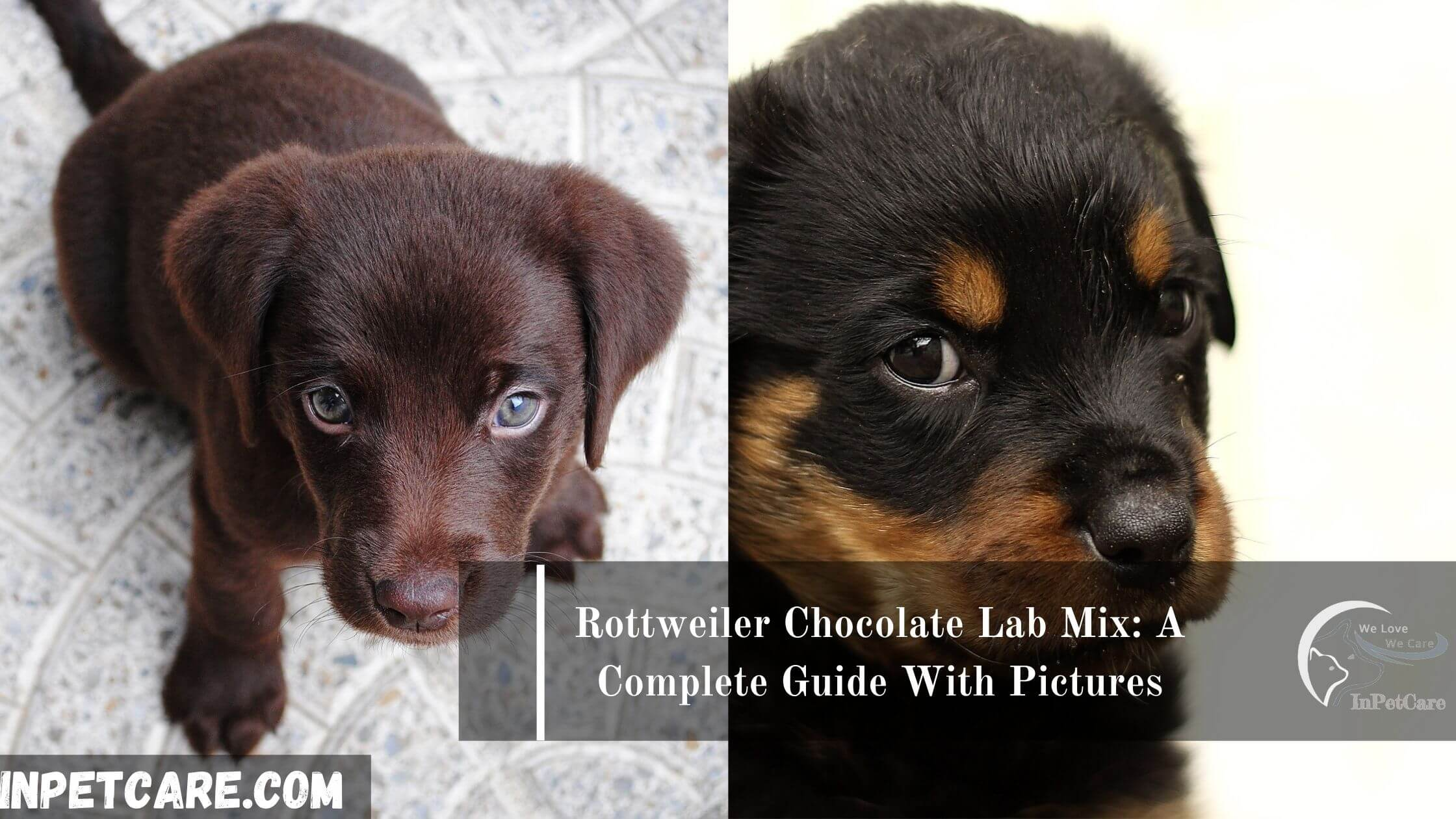 Rottweiler Chocolate Lab Mix, Chocolate Lab Rottweiler Mix, Chocolate Lab Mix with Rottweiler