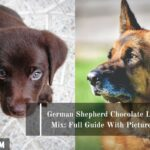 German Shepherd Chocolate Lab Mix: Full Guide With Pictures