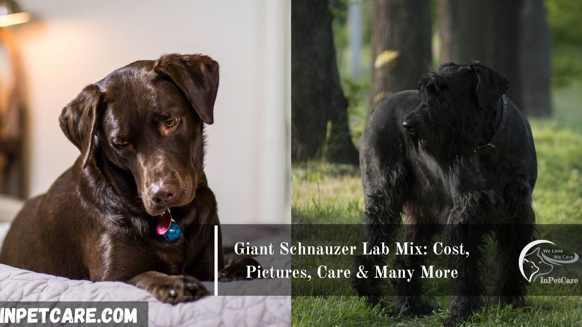 Giant Schnauzer Lab Mix: Cost, pictures, care & many more