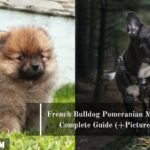 French Bulldog Pomeranian Mix: A Complete Guide (+Pictures)