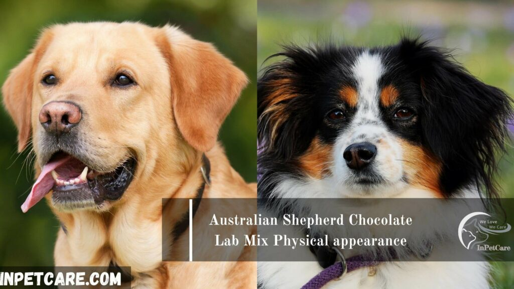 Australian Shepherd Chocolate Lab Mix: Full Guide With Photo