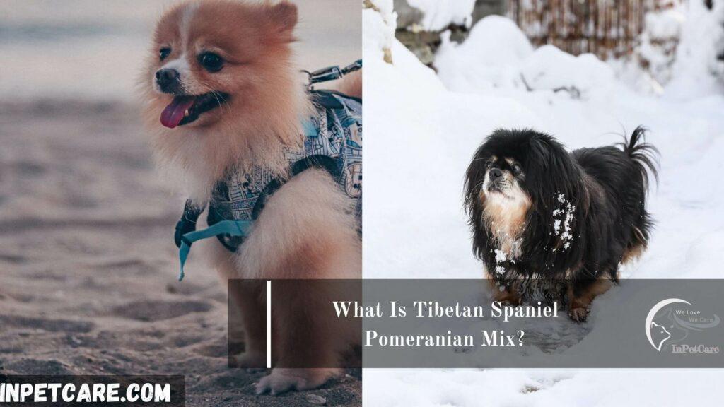 Tibetan Spaniel Pomeranian Mix