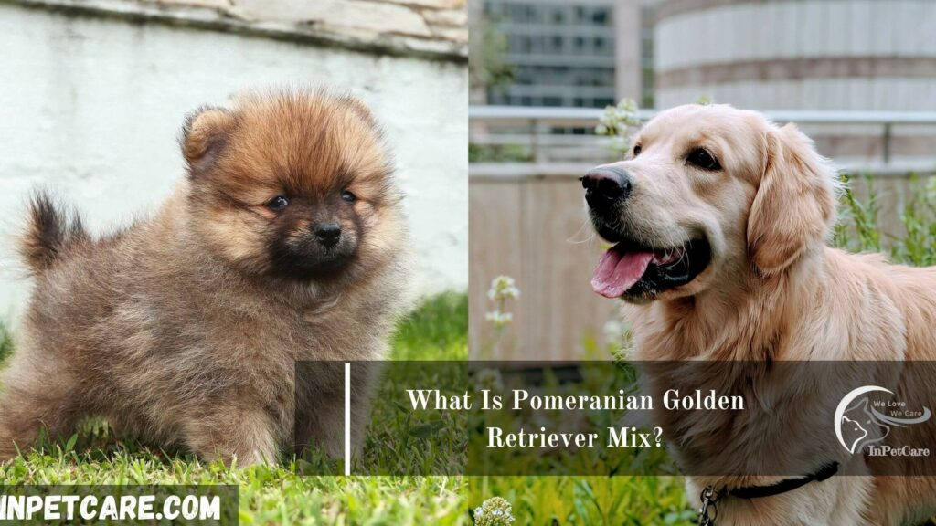 Pomeranian Golden Retriever Mix