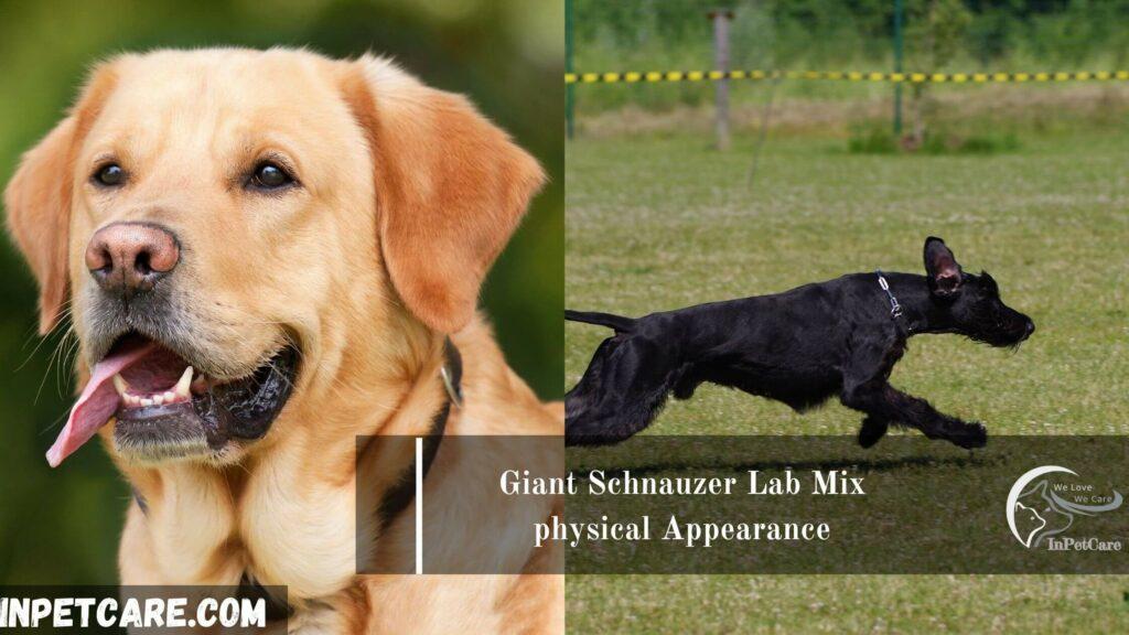 Giant Schnauzer Lab Mix