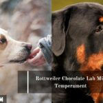 Golden Retriever Chocolate Lab Mix: Full Guide with Photos
