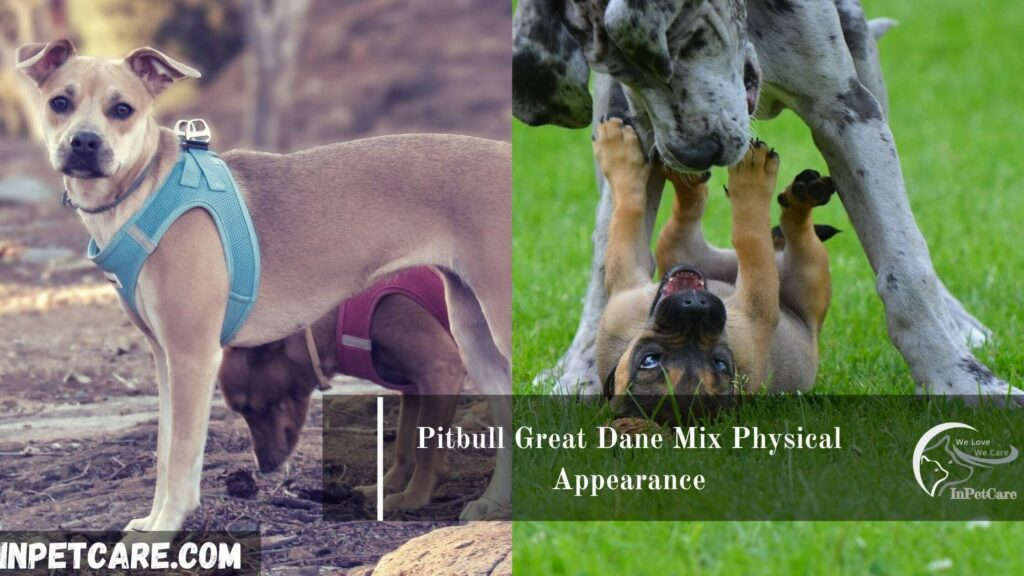 Great Dane Pit Mix pictures, Pit Great Dane Mix pictures, Great Dane Pitbull Mix pictures, Great Dane Pit Mix photos, Pit Great Dane Mix photos, Great Dane Pitbull Mix photos, Great Dane Pit Mix For Sale, Pit Great Dane Mix For Sale, Great Dane Pitbull Mix For Sale